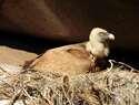 Los buitres leonados: sanitarios del campo