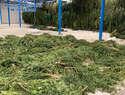 """Desmantelada en Toledo dos macroplantaciones de marihuana y evita que lleguen al mercado ilícito diez toneladas de """"Cannabis"""""""