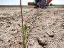 La reforestación en Torralba del vertedero sellado comienza con la plantación de 800 pinos piñoneros