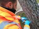 Más de mil pinos halepensin distribuidos por toda Guadalajara son tratados mediante endoterapia para reducir la procesionaria