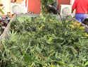 La Guardia Civil incauta en Albareal de Tajo (Toledo) más de 9.000 plantas de marihuana y efectos por un valor superior a los 300.000 euros
