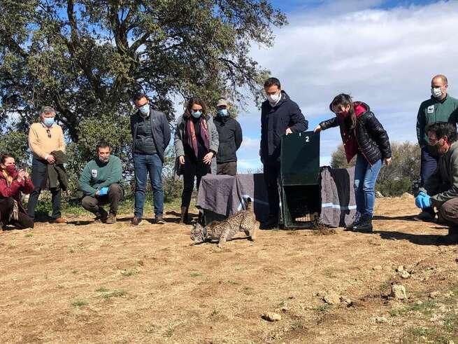 Castilla-La Mancha realiza un balance positivo de la situación del 'lince ibérico' en la región con un total de 146 cachorros de la especie nacidos en libertad durante 2020
