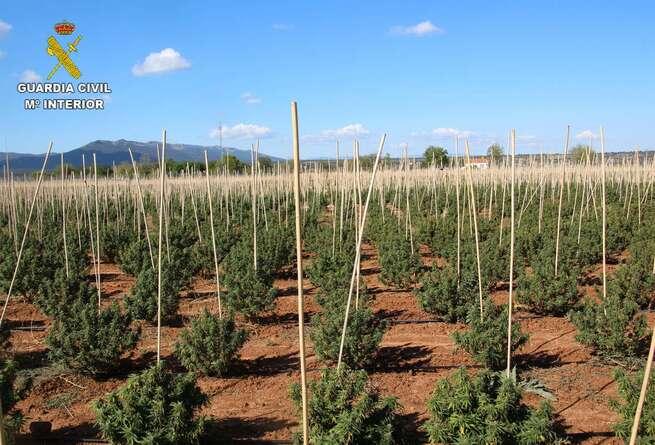Intervenidas 12.000 plantas de marihuana en una finca de Sonseca dedicada a un falso cultivo de cáñamo industrial