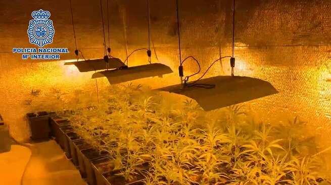 Desmantelada una plantación de más de 1200 plantas de marihuana en Méntrida