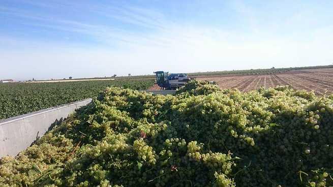 ASAJA Ciudad Real confía en que los precios de la uva suban a medida que avance la vendimia en la región