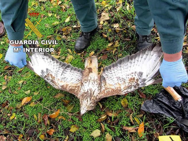 Detienen en Manzanares a una persona por matar con veneno a dos ejemplares de águila
