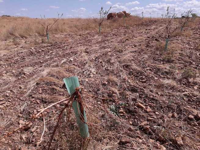 ASAJA Ciudad Real pide declarar comarca de emergencia cinegética por daños de ciervos y jabalíes la zona este de Campo de Montiel