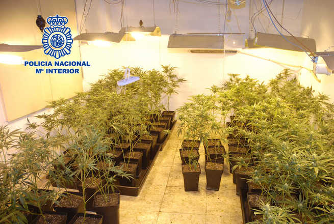 Detenido en Alcázar un matrimonio que explotaba un cultivo ilegal de marihuana y la suministraba en zonas de ocio nocturno