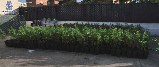 """La Policía Nacional desmantela cuatro plantaciones de """"cannabis"""" en chabolas de Ciudad Real incautando más de 2.000 plantas"""