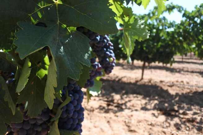 El Gobierno regional ha aprobado más de 46 millones de euros de ayudas para reestructuración de viñedo de las que se beneficiarán 2.066 agricultores