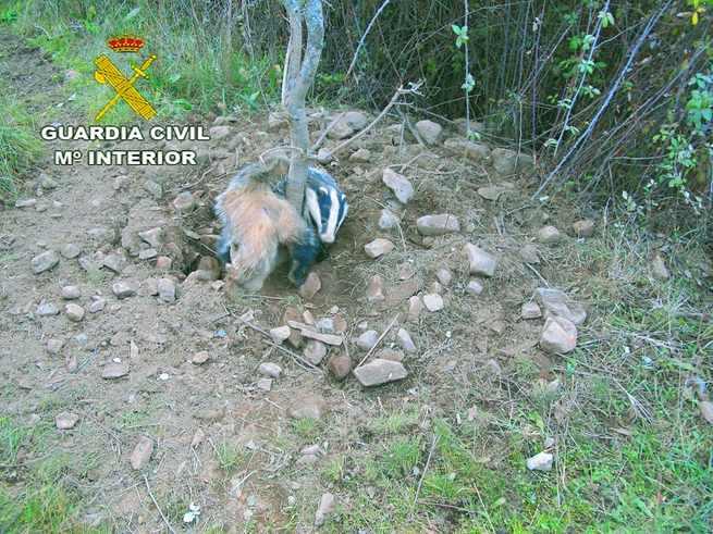La Guardia Civil rescata con vida a un tejón atrapado en un lazo en Valdemanco del Estera