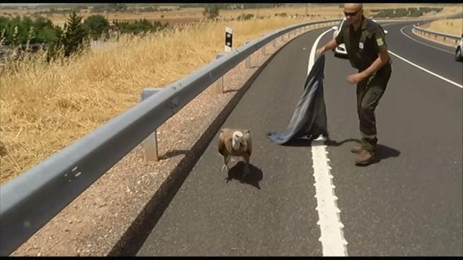 Imagen: Se recupera bien el buitre leonado rescatado en una carretera de Puertollano