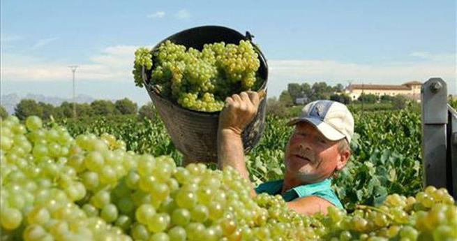 Imagen: Asaja calcula que la producción de uva en CLM bajará entre un 20 % y un 25 %