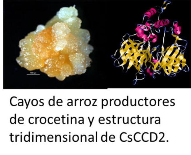 Imagen: Compuestos del azafrán podrían utilizarse en cultivos como el arroz mediante biotecnología