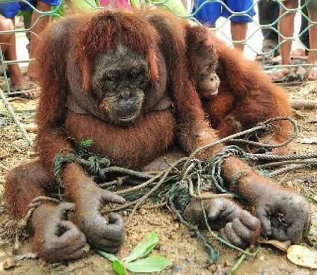 Por favor, ¡NO a la prostitución… de orangutanes!