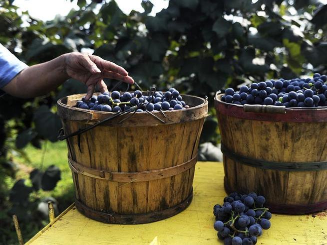 Imagen: Se reduce la producción de vino y mosto en la campaña de este año un 12,2 % en Castilla-La Mancha