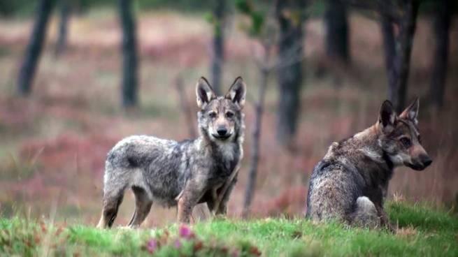 imagen de Un nuevo método rastrea las manadas de lobos con mayor precisión