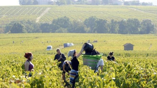 imagen de Unos 1.100 castellano-manchegos trabajarán este año en la vendimia en Francia