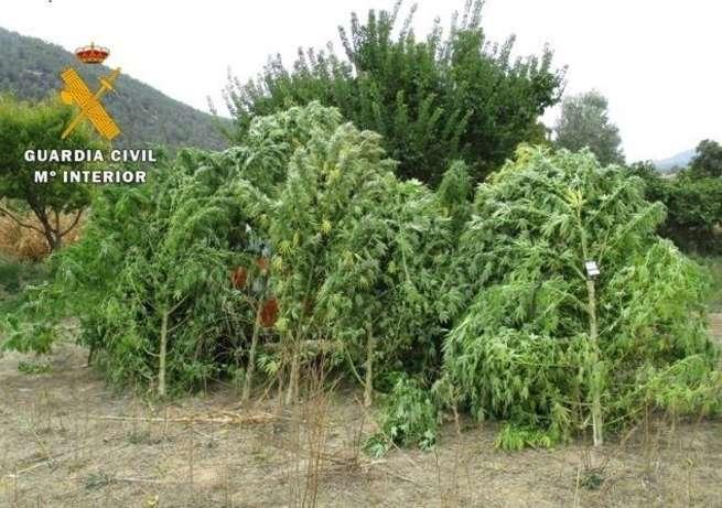 Detienen un hombre en Yeste (Albacete) y le intervienen 13 plantas de marihuana de 91 kilogramos en un maizal