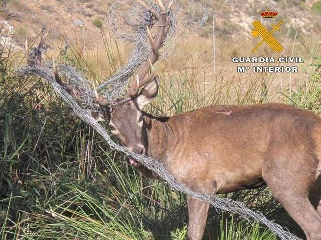 Liberado un ejemplar de ciervo macho atrapado en un vallado cinegético en Casas de Lázaro (Albacete)