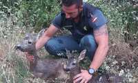 La Guardia Civil salva en El Viso del Marqués a una hembra de corzo y su cría de una muerte segura por ahogamiento