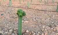 Castilla-La Mancha impulsa la investigación en el viñedo frente al cambio climático con una nueva parcela experimental en el IVICAM