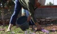 El Ayuntamiento de La Solana licita veinte parcelas para el cultivo de azafrán