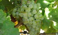 ASAJA CLM denuncia que industrias bodegueras reciben uva airén sin dar a conocer el precio