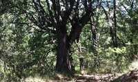 El ayuntamiento de Yebes realiza una catalogación de noventa árboles singulares a los que quiere dar especial protección