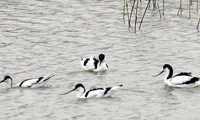 El IREC coordinará una base de datos de aves silvestres claves en la propagación de la gripe aviar en Europa