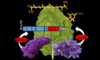 El grupo de Biología Molecular y Fisiología Molecular del Instituto Botánico produce los pigmentos del azafrán en plantas de tabaco