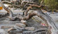 """El Ayundatmineto de Guadalajara pone en valor el entorno  del  """"pino tumbado"""" de la Concordia"""