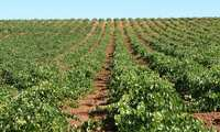 Casi 400 hectáreas más de viñedo se incorporan a la zona de producción de la Denominación de Origen Valdepeñas en el último año