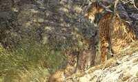 El Gobierno de Castilla La Mancha anuncia el nacimiento de 29 camadas y 90 cachorros de lince ibérico