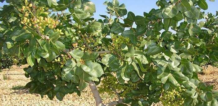 El pistacho, la esperanza de los agricultores castellano-manchegos