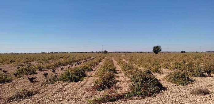 Termina la vendimia en Pedro Muñoz, con una cosecha aceptable a pesar de las circunstancias