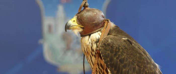 Gracias a la técnica del hacking de halcones, se controla de forma eficaz la proliferación de palomas y se contribuye a la recuperación del patrimonio natural
