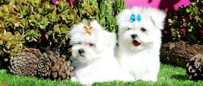 El Bichón Maltés: la raza canina más cariñosa para un entorno familiar