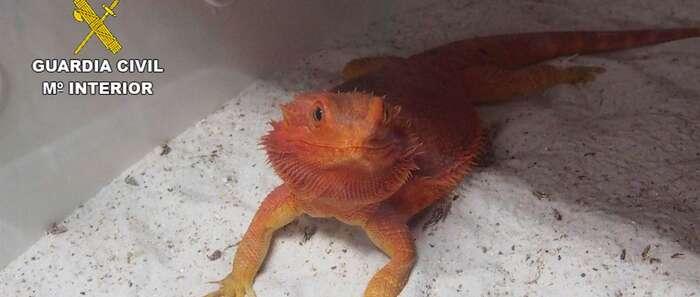 Denuncian a un vecino de Azuqueca (Guadalajara) que comerciaba con dragones barbudos que criaba en su casa