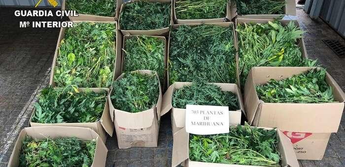 Tres detenidos y 703 plantas de marihuana incautadas en Albalate de Zorita