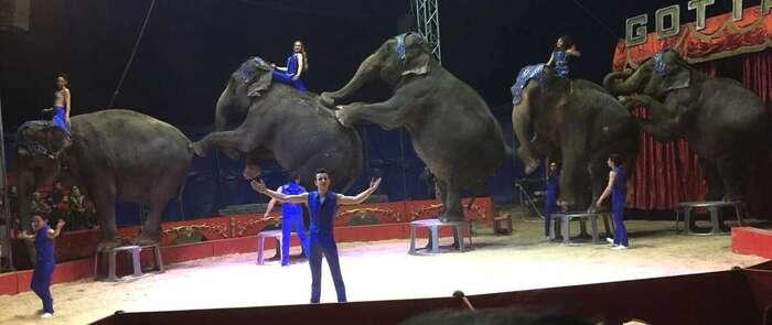 PACMA acusa a Gottani de no tener seguro y de vacunar a las elefantas accidentadas en Albacete con dosis para perros