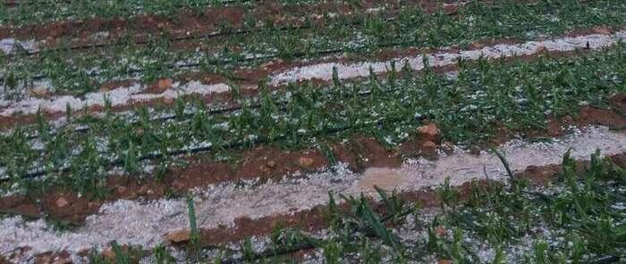 ASAJA Ciudad Real estima entre 7.000 y 8.000 las hectáreas afectadas por la tormenta de granizo