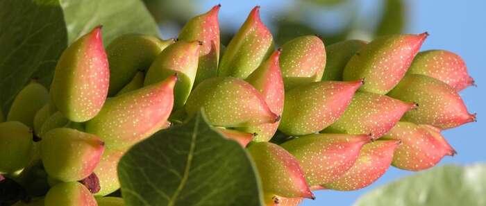 La superficie utilizada para producción de pistacho en Castilla-La Mancha ha incrementado su superficie en 1.500 hectáreas durante el último año