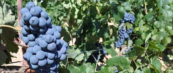 El Gobierno de Castilla-La Mancha ha abonado esta semana 4,5 millones de euros a los viticultores por pagos de reestructuración de viñedo