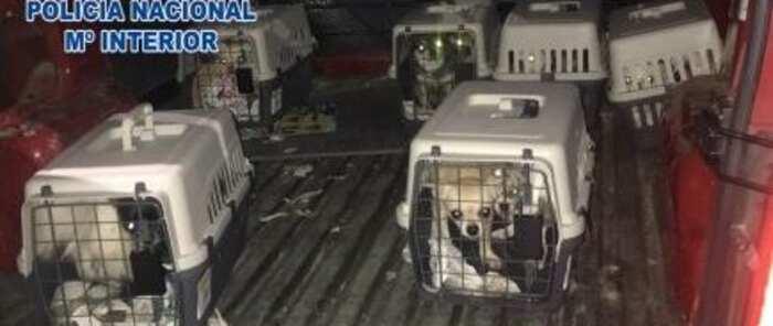 Desmantelado un criadero ilegal de chihuahuas y rescatados doce perros encerrados en una vivienda de Madrid
