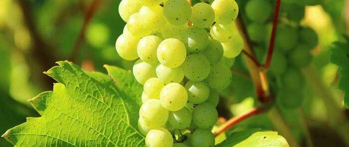 Unión de Uniones espera un buen comportamiento de los precios de la uva esta vendimia