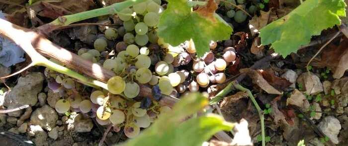 Preocupación ante la descomposición de la uva sin vendimiar en La Mancha