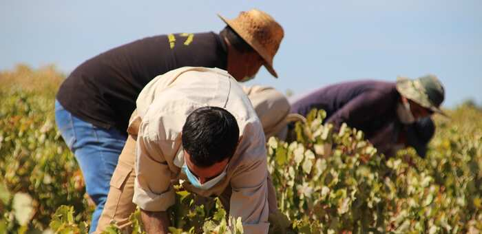 ASAJA-La Solana califica de 'catástrofe' el bajo precio de la uva