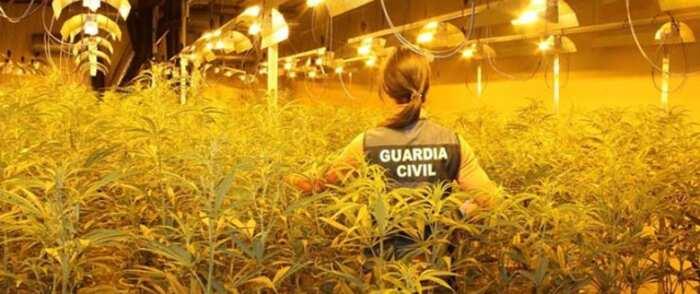 Son intervenidas más de 7.500 plantas de marihuana en dos operaciones desarrolladas en Zaragoza y Toledo