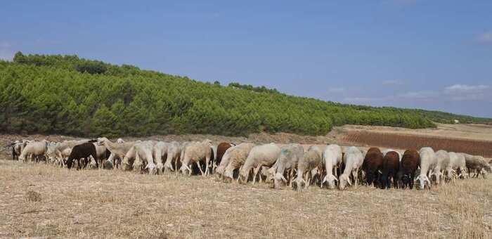 9,6 millones de euros ha abonado Castilla-La Mancha para el mantenimiento de la ganadería extensiva
